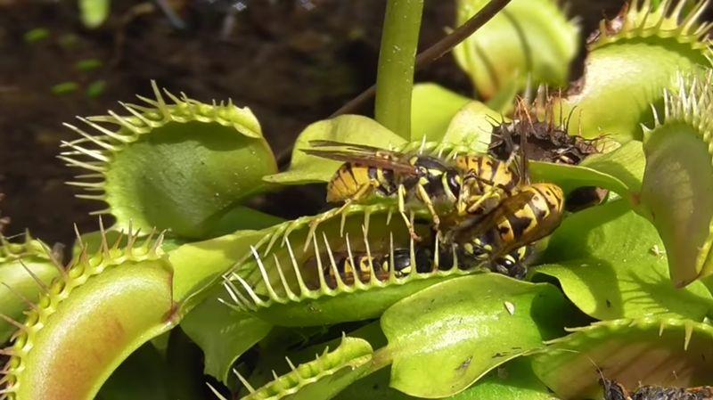 【ハエトリグサ】食虫植物がスズメバチをパクッ!女神のまつげが最強