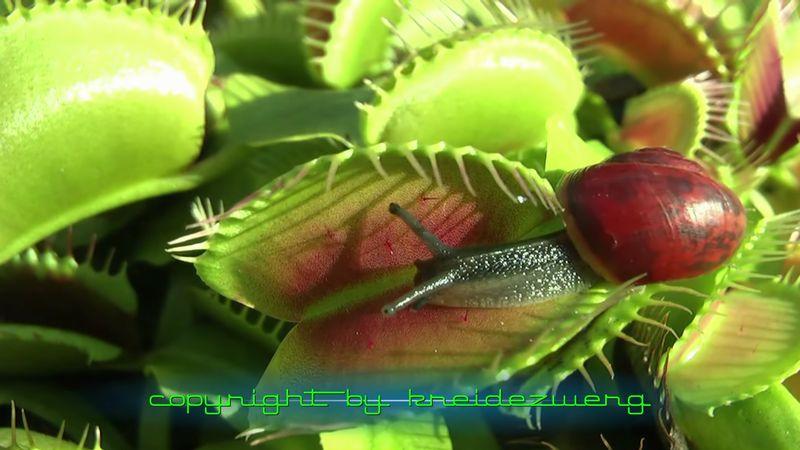 【ハエトリグサ】カタツムリもカエルもパクッ!食虫植物は何でも食う