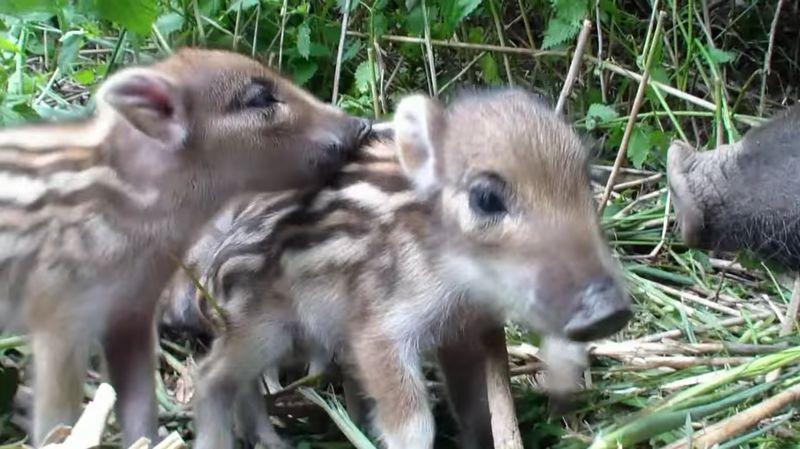 【イノシシ】うり坊が可愛すぎる!スイカ模様の体、黒い瞳、豚っ鼻…
