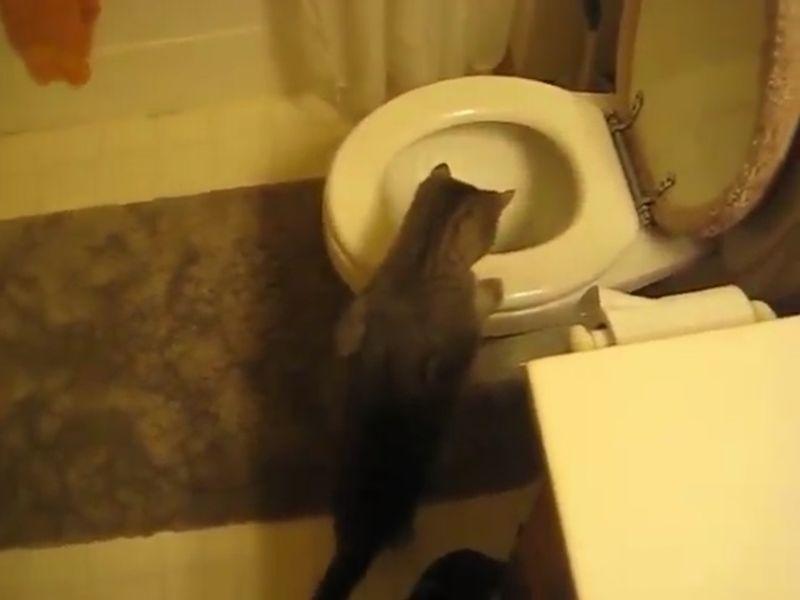 【猫と水洗トイレ】キジトラが便器を覗き込む!水の流れに夢中だニャ