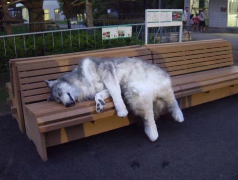 【ケモノ】二足歩行する狼が公園に出現!ベンチにごろんと横たわる